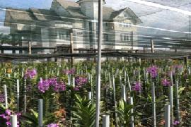 Thu nhập cao từ trồng lan mokara của Anh Bùi Văn Cường, Xã Phước Hiệp, Huyện Củ Chi