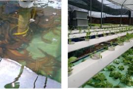 Trồng rau thủy canh kết hợp nuôi cá thương mại của anh Hồ Thanh Huy, Xã Hưng Long, Huyện Bình Chánh