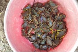 Nuôi cua biển thương phẩm hai giai đoạn bằng con giống sinh sản nhân tạo của anh Nguyễn Mạnh Thơ, Xã Bình Khánh, Huyện Cần Giờ