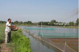 Nuôi cá chép nhật, cá koi trong ao đất của ông Nguyễn Tấn Phong, Xã Bình Lợi, Huyện Bình Chánh