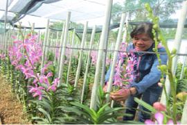 Làm giàu từ trồng hoa lan mokara cắt cành của chủ vườn lan Trần Ngọc Tuyết tại xã Hòa Phú, Huyện Củ Chi