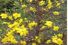 Chuyển đổi đất trồng mía kém hiệu quả sang trồng mai vàng giá trị kinh tế cao của Anh Trần Tứ Vương, xã Bình Lợi, Huyện Bình Chánh