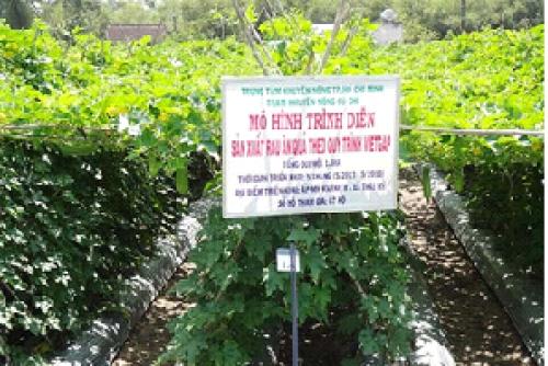 Hiệu quả chuyển đổi đất trồng lúa sang rau ăn quả vietgap của anh Nguyễn Văn Cu, xã Trung Lập Thượng, Huyện Củ Chi